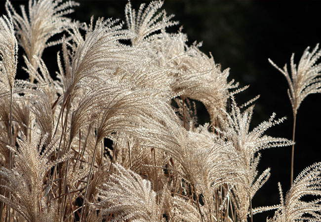 Ziergräser Balkonpflanze Herbst